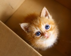 47463096 - red hair one month old little kitten in the box